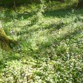 Gundermannzauber im Wald_18x24x72