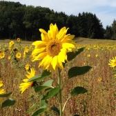 Sonnenblumen_18x24x72